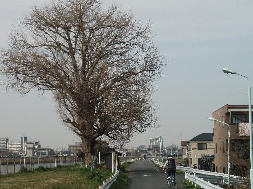 Bigtree1